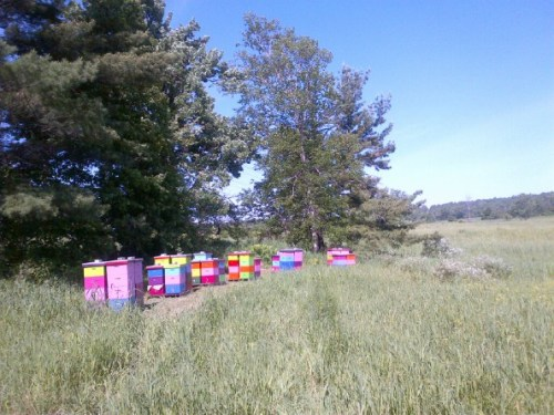 Bee Hives on Songberry Organic Farm